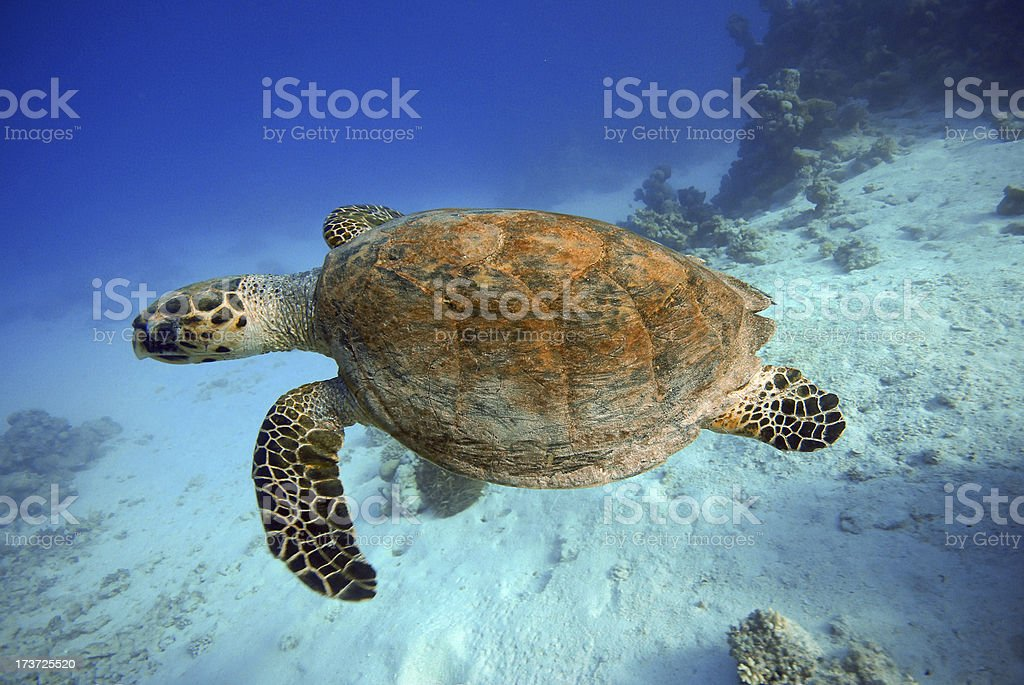 Underwater view of a turtle swimming stock photo
