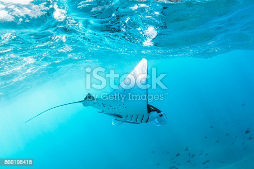 istock Underwater view of hovering Giant oceanic manta ray 866198418