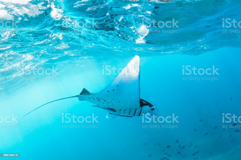Underwater view of hovering Giant oceanic manta ray stock photo