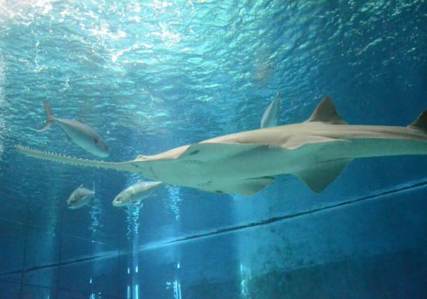 vista submarina de la vida marina sierra de pez sierra - pez sierra fotografías e imágenes de stock