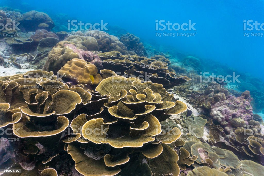 Underwater vulnerable species Maze coral (Montipora) reef stock photo