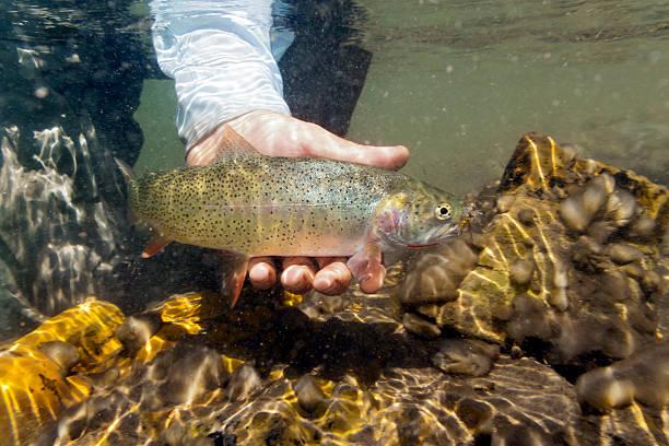 Unterwasser Westslope-Cutthroat-Forellen-pacific saury clarki lewisi – Foto