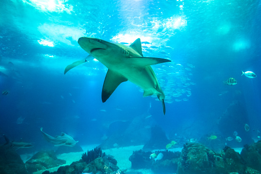 istock Underwater white shark 1063865112
