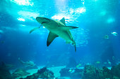Undersea blue background. Bottom view of white shark in deep ocean. Undersea marine life.