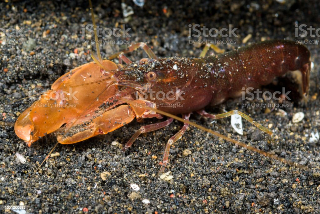 undescribed snaping shrimp stock photo