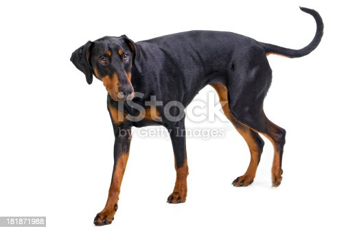 Doberman Pinscher with an undocked tail