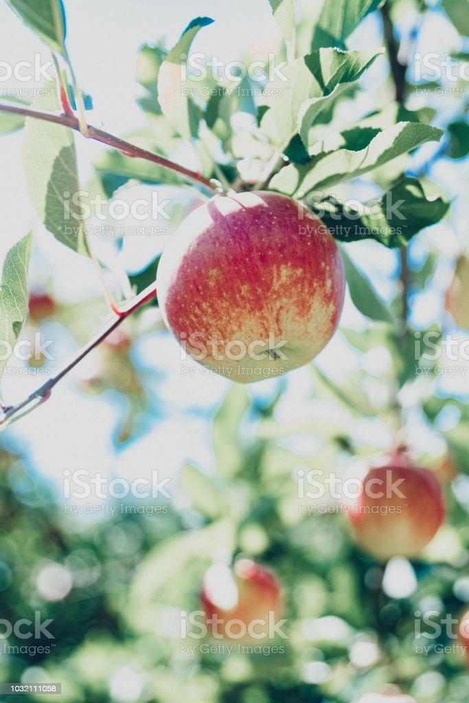 Une pomme versez la santé - Photo