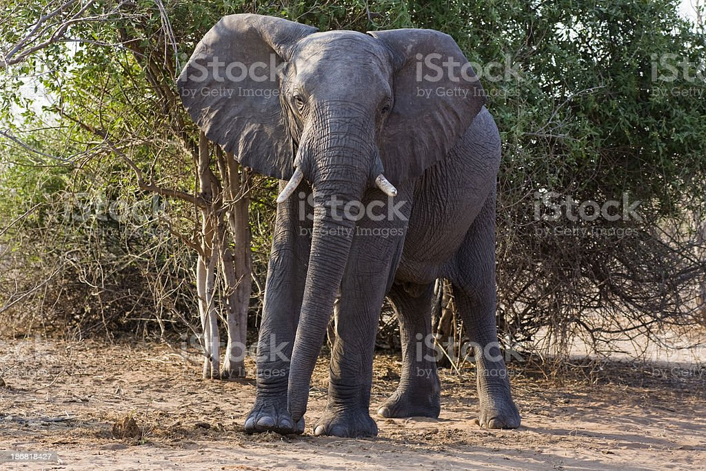 Uneasy male elephant, Chobe, Botswana stock photo