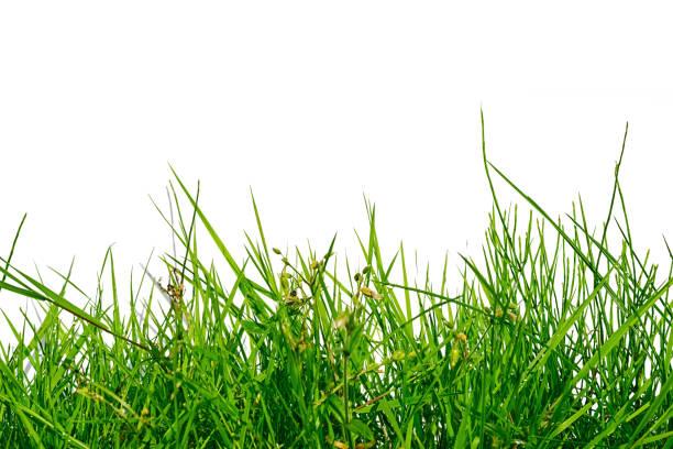 herbe verte inégale isolé sur fond blanc - élevé photos et images de collection