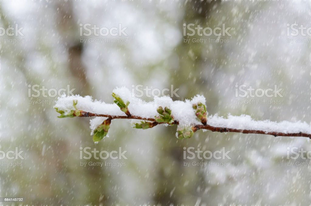Unexpected snow in april. Lilac branch with young green leaves covered by spring snow. zbiór zdjęć royalty-free