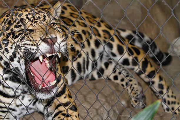 injustement jaguar growls en cage - cage animal nuit photos et images de collection