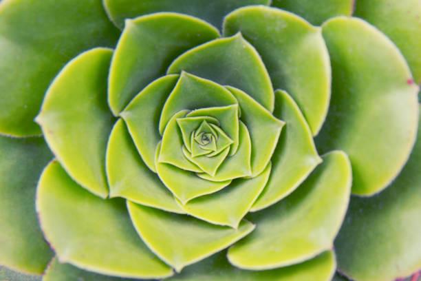 unfolding lotus - golden ratio стоковые фото и изображения