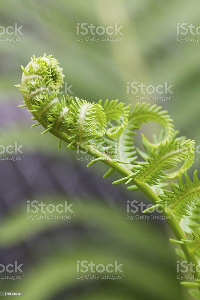 Unfurling Fern Leaf stock photo