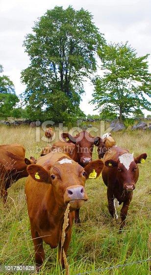 Lantbruk, årskalvar, unga kor i hage, kalvar