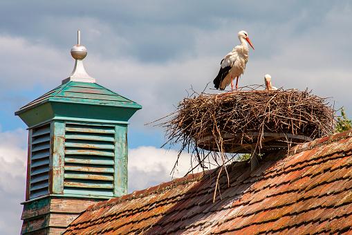 Ungersheim. Cigogne blanche au nid. Haut-Rhin. Alsace. Grand Est
