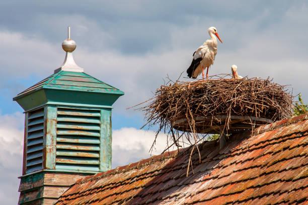ungersheim. cigogne blanche au nid. haut-rhin. alsace. grand est - bocian zdjęcia i obrazy z banku zdjęć