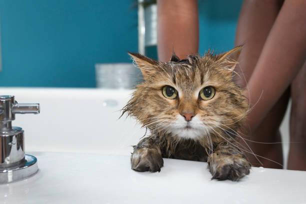 Unhappy cat taking a bath picture id1148265526?b=1&k=6&m=1148265526&s=612x612&w=0&h=wgjlsyqhu9eorc0yznkepaeztbuubpbovj5n2okpry8=