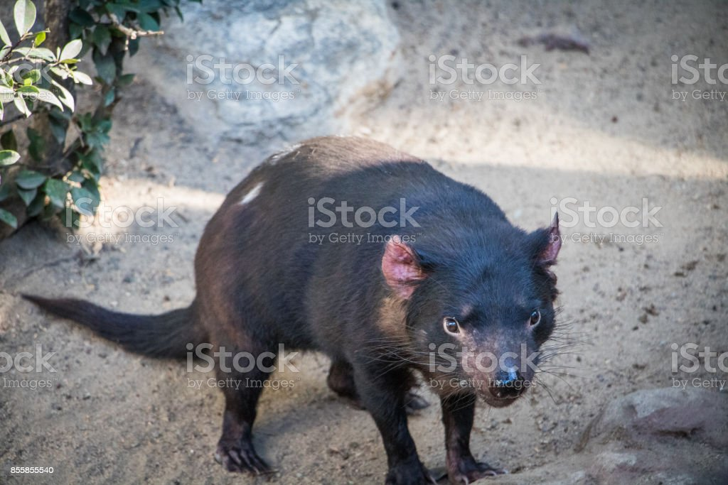 Unhappy Tasmanian Devil looking for food to scavenge stock photo