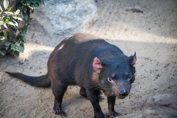 Unhappy Tasmanian Devil Looking For Food To Scavenge Stock Photo Download Image Now Istock