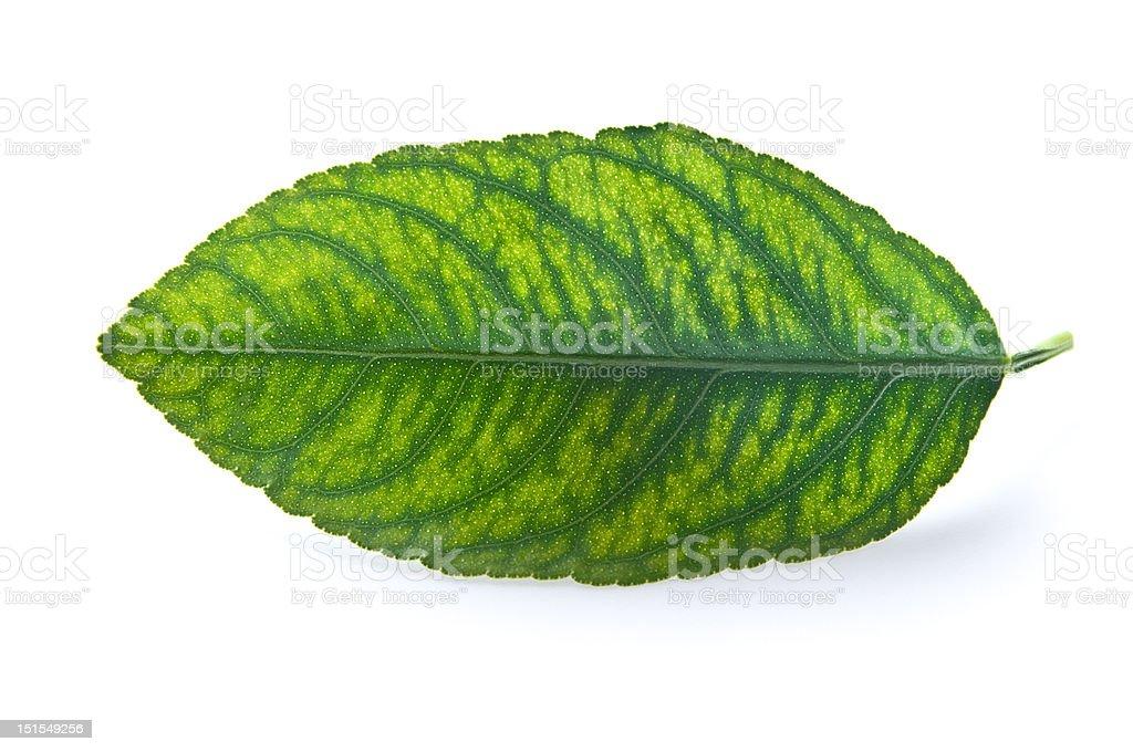 Unhealthy Leaf royalty-free stock photo