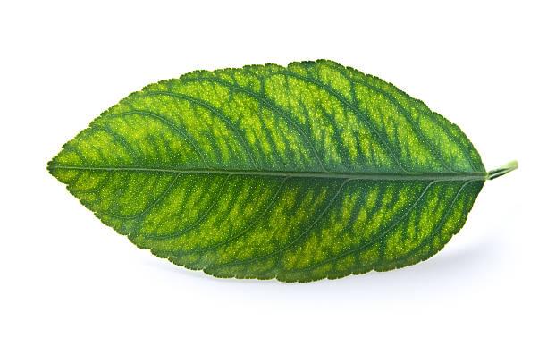 ungesunde leaf - eisenmangel was tun stock-fotos und bilder