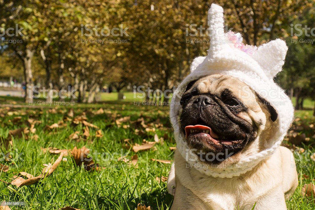 Unicorn Pug stock photo