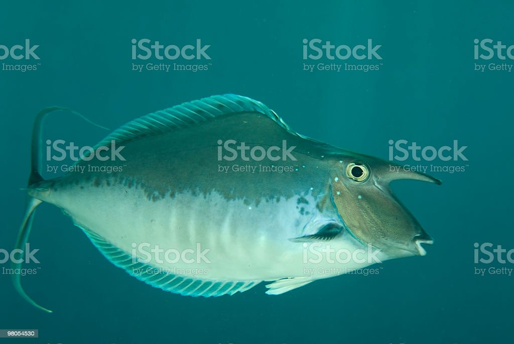 Unicornfish foto stock royalty-free