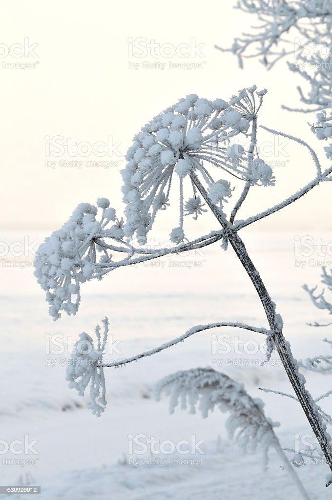 unidentified hogweed(Heracleum sphondylium) stock photo
