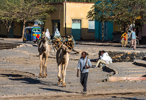 Unidentified man guiding camels down a street in Aksum, Ethiopia.