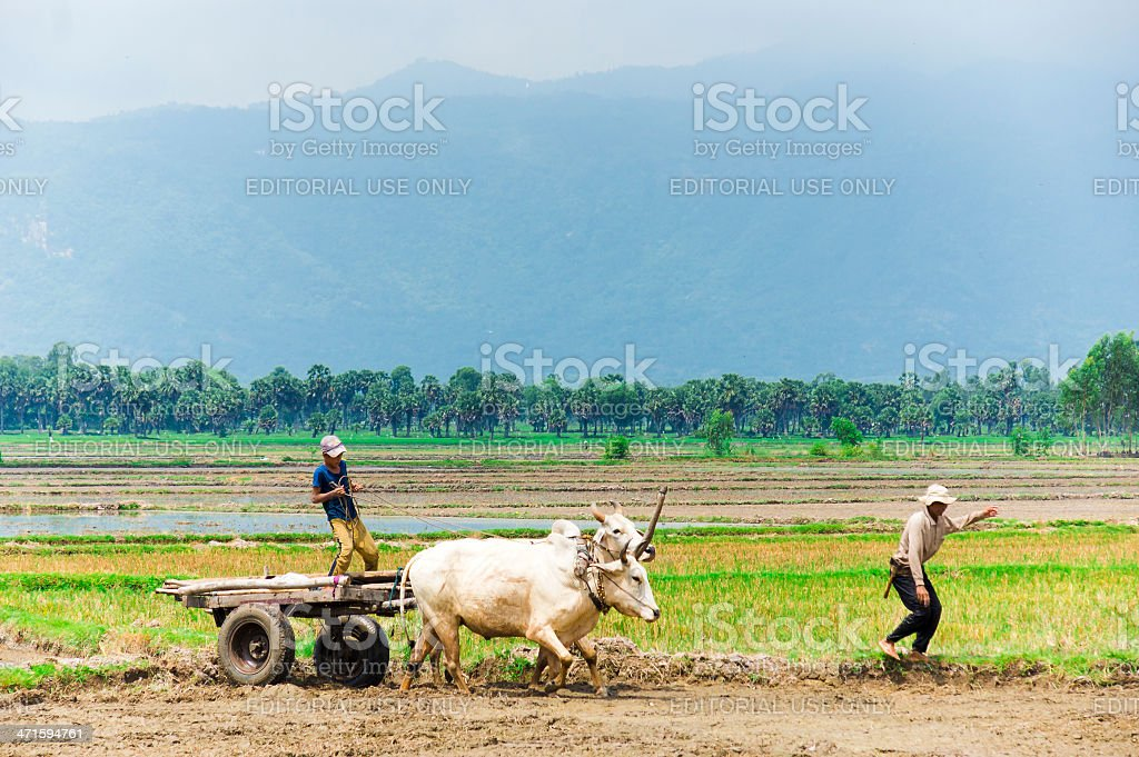 Unidentified men driving cow cart on the rice field stock photo