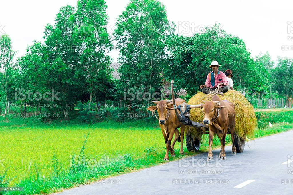Unidentified people drives a cow cart stock photo