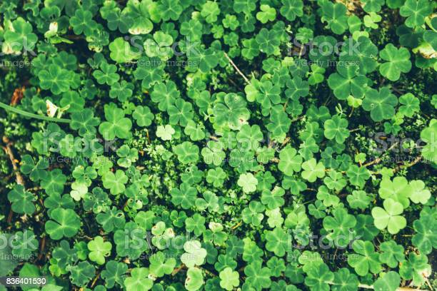 Uniform grass with clovers picture id836401530?b=1&k=6&m=836401530&s=612x612&h=vmiyasn38ln1y aip0w6bt74fmvjrqyyqcdbz0twuny=