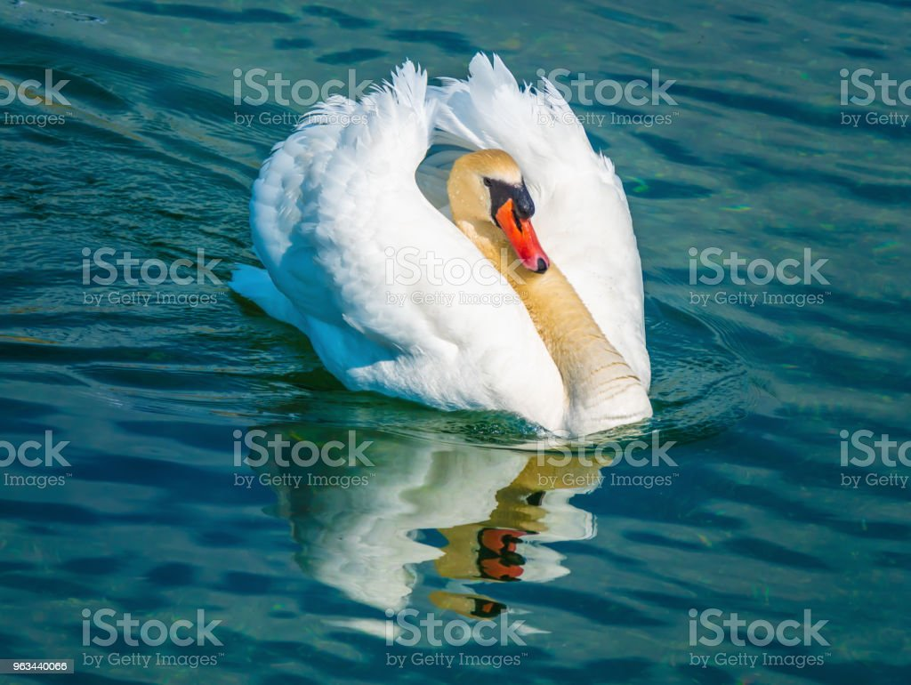 Unique elegance and beauty of swans drifting on the Upper Zurich Lake waters (Obersee), near Rapperswil, Switzerland - Zbiór zdjęć royalty-free (Biały)