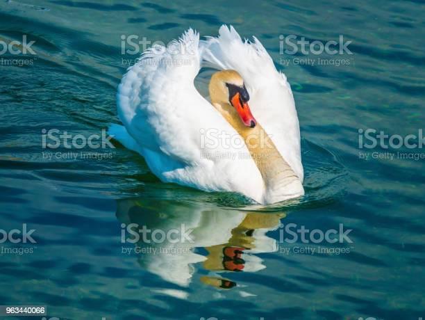 Wyjątkowa Elegancja I Piękno Łabędzi Dryfujących Na Wodach Jeziora Górnego Zurychu W Pobliżu Rapperswil Szwajcaria - zdjęcia stockowe i więcej obrazów Biały