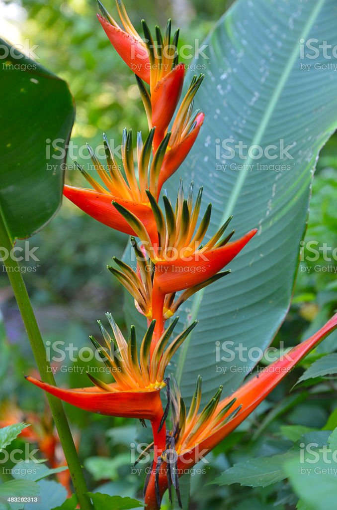 unique red Tropical flower stock photo