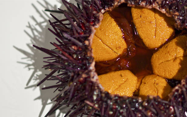 uni,sea urchin stock photo