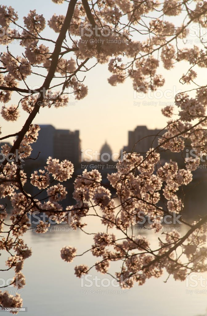 United States Capitol with Cherry Blossoms stock photo