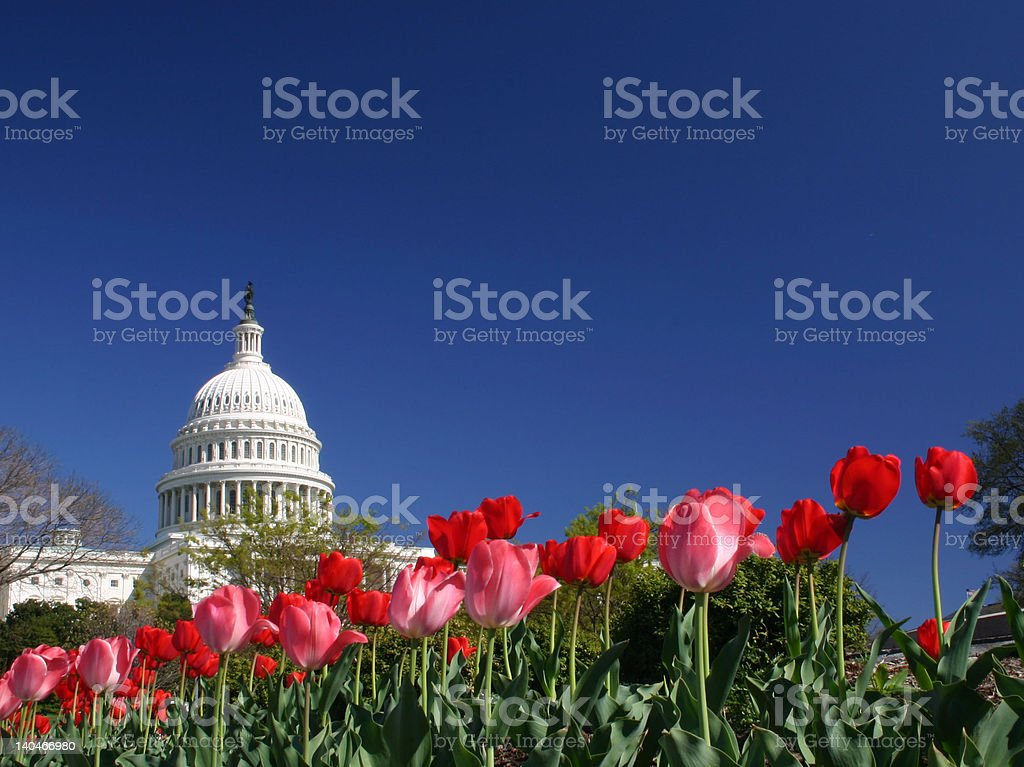 United States Capitol with Tulips royalty-free stock photo