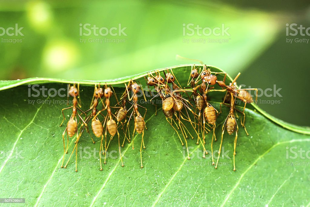 Unity of Ants stock photo