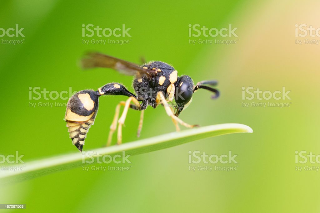 Unknown Wasp, Hornet, Bee stock photo