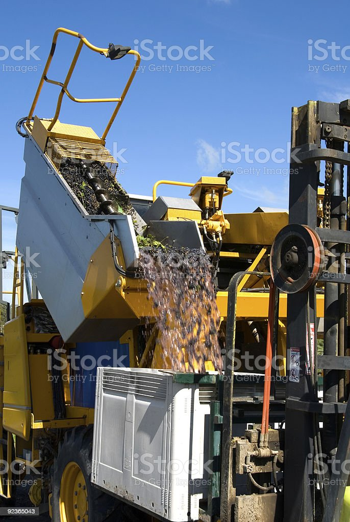 Unloading Grapes royalty-free stock photo