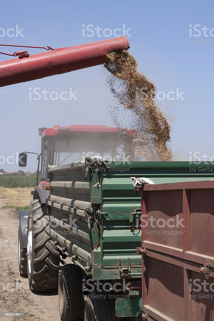 Unloading Wheat Into Trailer royalty-free stock photo