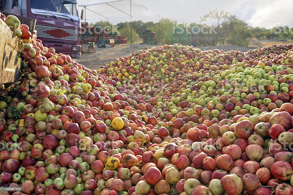 Unloads apples stock photo
