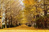 無人[]イチョウ付き秋の落ち葉
