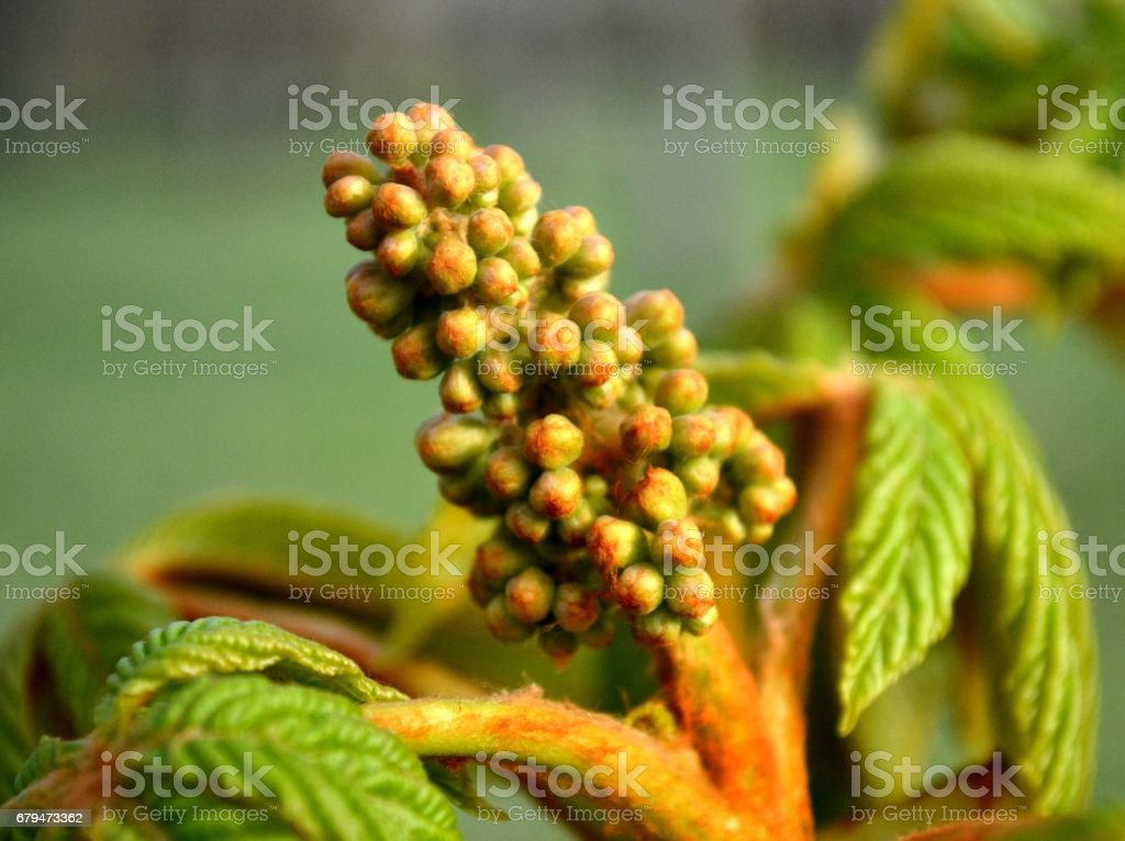 Unopened bud of chestnut in the spring in the park royalty-free stock photo