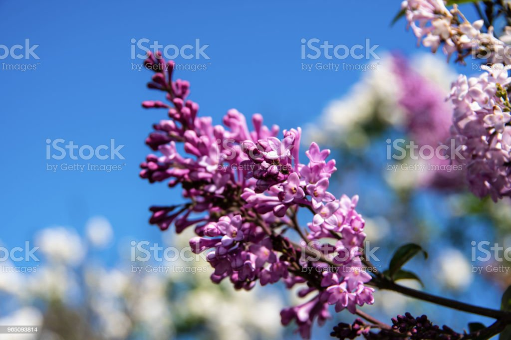 Unopened purple lilac flower on a blue sky background royalty-free stock photo