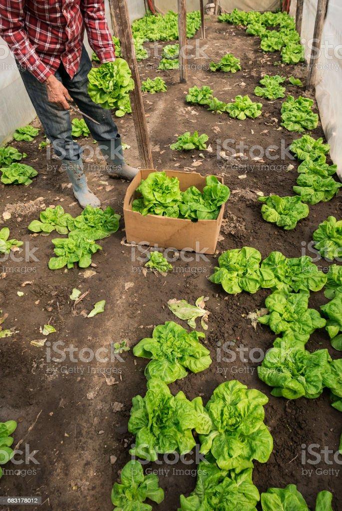 不可識別的農場工人收割生菜 免版稅 stock photo