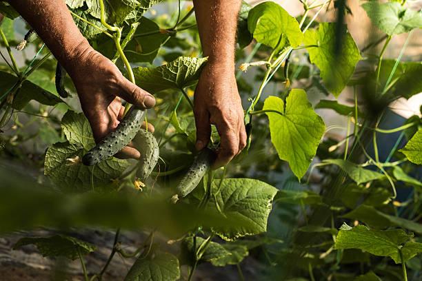Unrecognizable farm worker picking cucumber in vegetable garden. stock photo