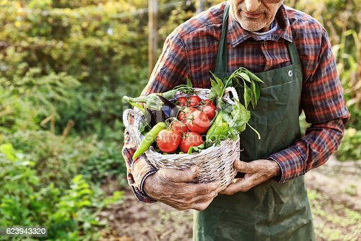 Old-age farmer carrying vegetables in basket from his garden. Greenery on background.