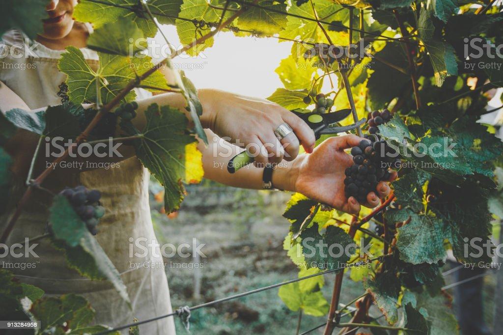 Irreconocible chica corta las uvas con las tijeras. Concepto de granja de Agroturismo - foto de stock